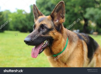 germanshepherd