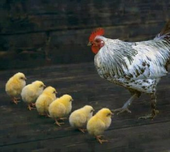 mother hen 1