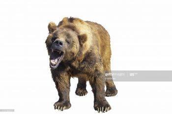 Photo of growling grizzly bear isolated on white.
